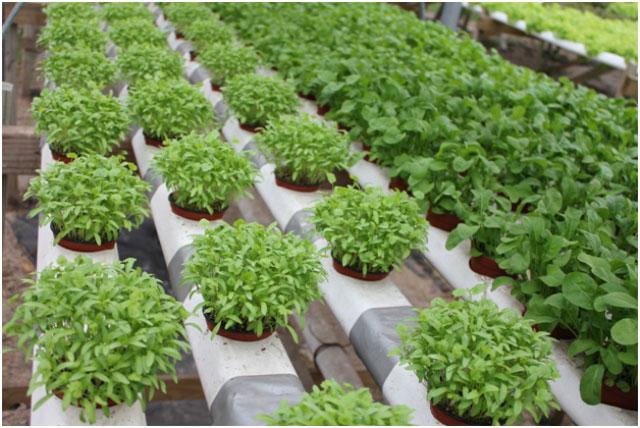hydroponics in UAE